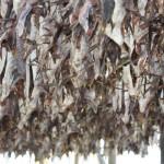 Stoccafisso di qualità Ragno: la migliore in commercio