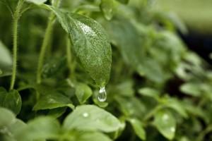 stevia_foglie